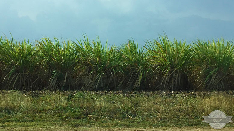 sugar-cane-cuba