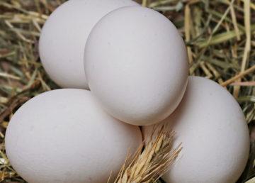 poultry-farm-pinar-del-rio